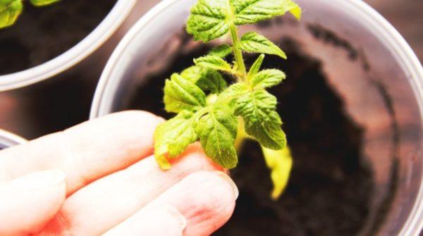 Κίτρινα φύλλα ντομάτες κοντά