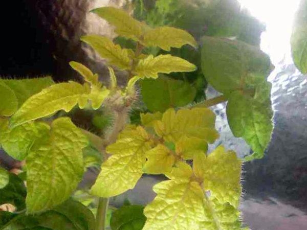 Λόγω έλλειψης αζώτου, τα φύλλα των φυτών αρχίζουν να εξασθενούν και να κιτρινίζουν.