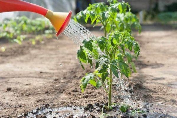 πώς να ταΐζετε φυτά τομάτας