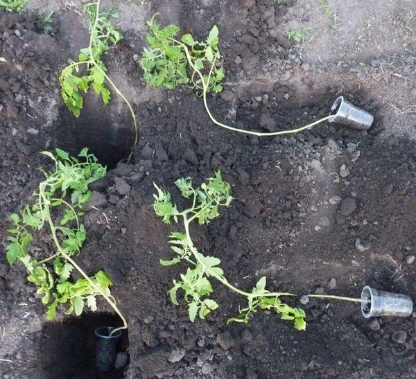 Πώς να φυτέψετε τα κατάφυτα δενδρύλλια τομάτας