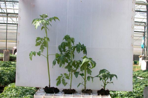 Τα έντονα αναπτυγμένα φυτά έχουν ύψος περίπου 50-60 cm