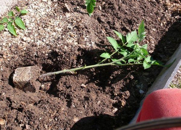 Πολύ κατάφυτα δενδρύλλια θα πρέπει να φυτευτεί ξαπλωμένη.