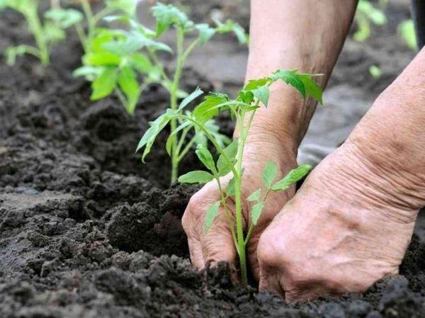 Μεταφύτευση φυτά τομάτας στο θερμοκήπιο