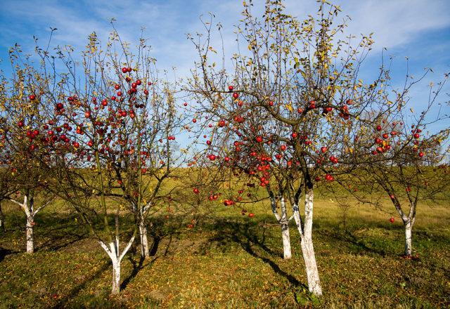 Κορυφαία ντύσιμο μηλιές το φθινόπωρο