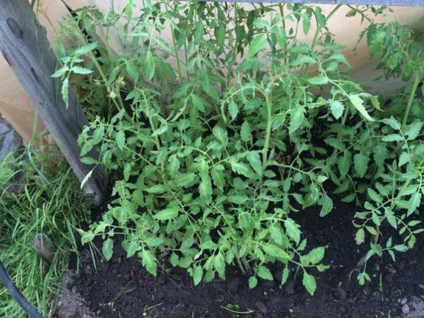 Οι νόστιμες ντομάτες δίνουν άφθονο πράσινο χρώμα.