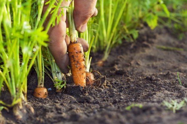 τότε φυτά καρότα