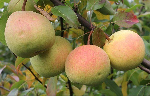 Rossoshanskaya - ένα αχλάδι με τους καρπούς της ωρίμανσης του φθινοπώρου