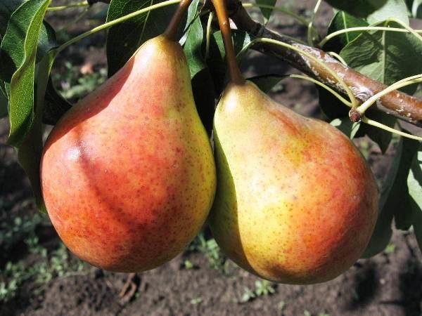 Πικρό αχλάδι της ποικιλίας Bere Moskovskaya