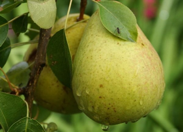 Το αχλάδι Bessemyanka ανήκει σε ποικιλίες υψηλής απόδοσης