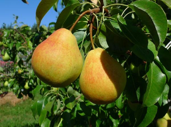 Το αχλάδι Lada αναφέρεται στις πρώιμες ποικιλίες του καλοκαιριού