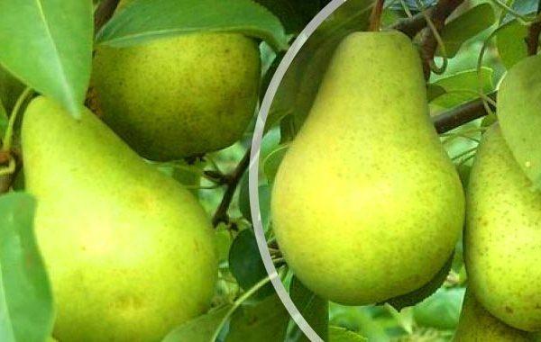 Τα φρούτα ποικιλίας Pervomayskaya μπορούν να εξοικονομηθούν έως και 8 μήνες