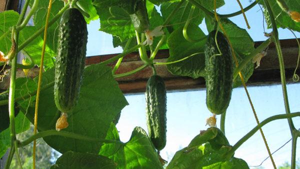 Λάχανο, κρεμμύδια, όσπρια, καλαμπόκι μεγαλώνουν καλά μετά από αγγούρια.