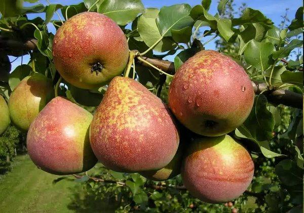 Μαρμάρινο Αχλάδι Φρούτα