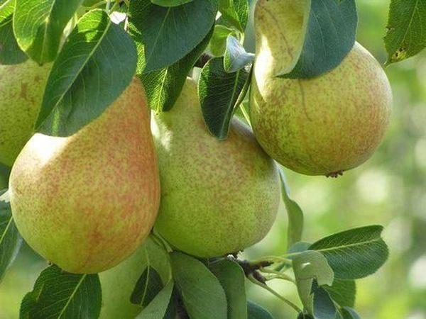 Ο βαθμός Hera είναι διάσημος για τα μεγάλα φρούτα