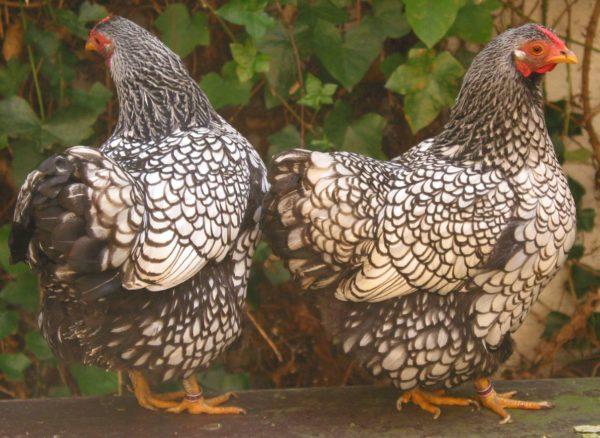 Ρόδι κοτόπουλων