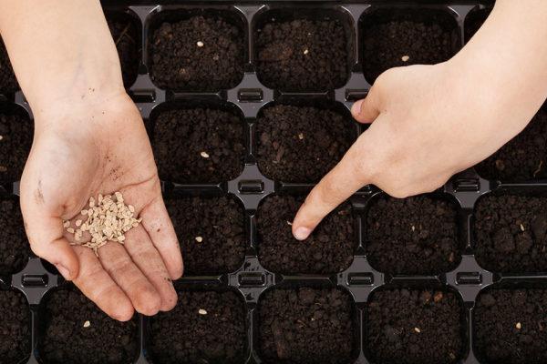 Εάν είναι επιθυμητό, σπόροι μπορούν να σπαρθούν σε ένα διαχωριστικό δοχείο