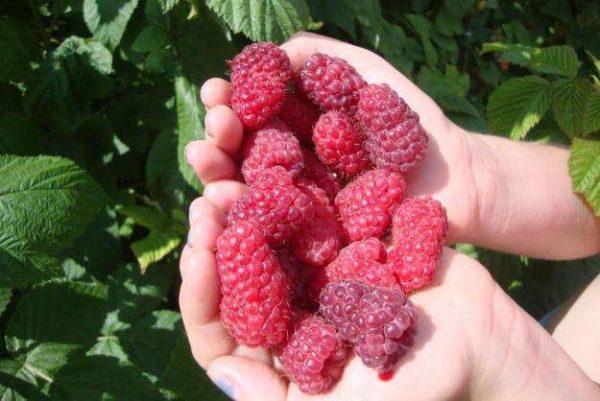 Μεγάλα φρούτα της ομορφιάς βατόμουρο της Ρωσίας