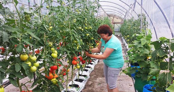 Τα αγγούρια και οι ντομάτες είναι καλύτερα να απομονώνονται ο ένας τον άλλον