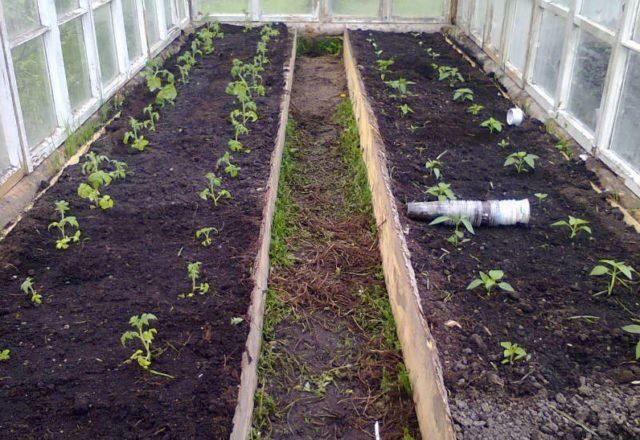 πότε να φυτέψει ντομάτες σε ένα θερμοκήπιο στη Σιβηρία