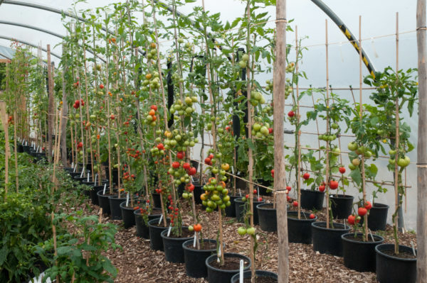 Ντομάτες, που σχηματίζονται σε ένα στέλεχος