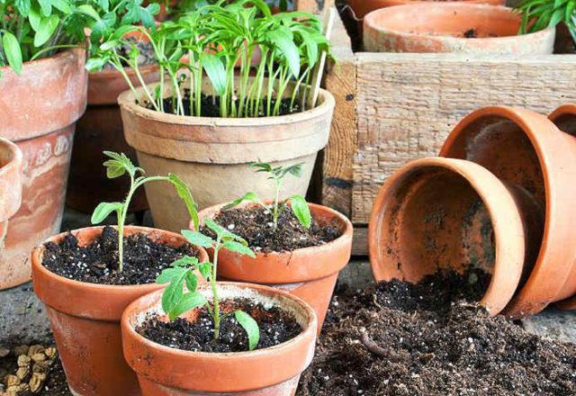 φυτά τομάτας