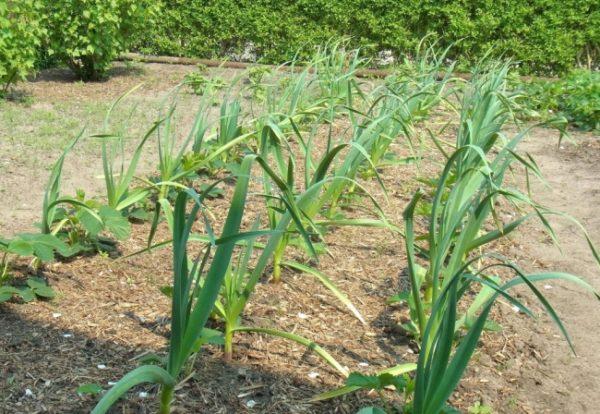 Μετά το σκόρδο, αγγούρια φυτεύονται το επόμενο έτος